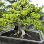 Jual Bonsai Murah di Malang Malang Guidance
