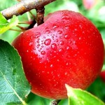 Kedai Apel Kusuma Agrowisata