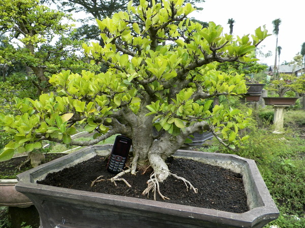 Bonsai Murah Malang