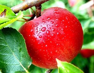 Kedai Apel Kusuma Agrowisata Batu