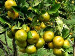 Jual jeruk Siam Kota Malang
