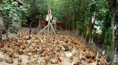 Peternakan Bebek di Jawa Timur