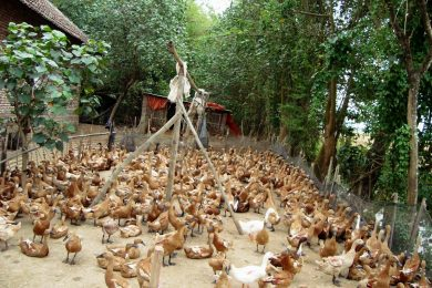 Jual Beli Bebek Afkir Malang Jawa Timur