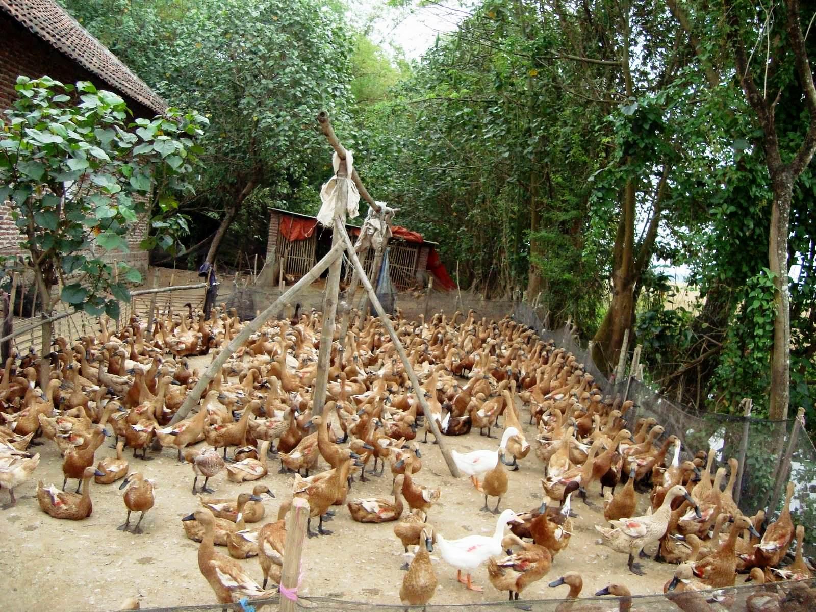 Tempat Jual Bebek di Malang
